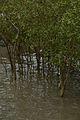 Mangrove - Godkhali - South 24 Parganas 2016-07-10 4937.JPG