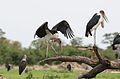 Marabou Stork, Leptoptilos crumeniferus, at the aptly named Marabou Pan, Savuti, Chobe National Park, Botswana (31943865984).jpg