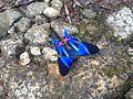 Mariposa azul en Janeiro.JPG