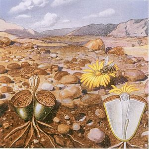Lithops - Lithops sp. by Marloth