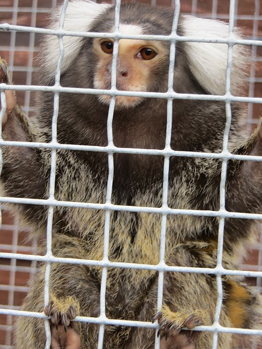 Marmoset Monkey Behind Bars