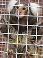 Marmoset Monkey Behind Bars.JPG