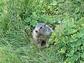 Marmotte en Vanoise 2008 (2).JPG