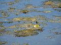 Marsh frog (14357443256).jpg