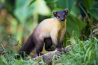Yellow-throated marten species of mammal
