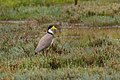 Masked Lapwing - New Zealand (25353634708).jpg