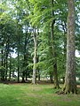 Mature Beech trees, inside Woodbury Castle - geograph.org.uk - 1364715.jpg