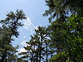 Maudslay white pine 1.JPG