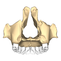 Maxilla close-up posterior.png