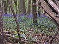 Maytime Bluebells.JPG