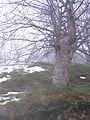 Medvednik - selo Rebelj - zapadna Srbija - Bukova šuma - detalj 2.JPG