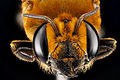 Megachile lanata, female BIML USGS.jpg