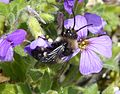 Melecta albifrons. Common Mourning Bee - Flickr - gailhampshire (2).jpg