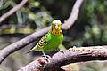 Melopsittacus undulatus -Fort Worth Zoo-8a.jpg