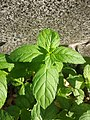 Mentha spicata sl9.jpg