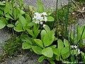 Menyanthes-trifoliata.JPG