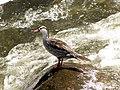 Merganetta armata (Pato de torrente) (Macho) (14067134810).jpg