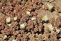 Mesembryanthemum nodiflorum 001.jpg