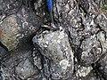Metamorphosed pillow basalt (Ely Greenstone, Neoarchean, ~2.722 Ga; large glacial erratic along Main Street, Ely, Minnesota, USA) 9 (21428138146).jpg