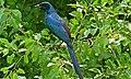 Meve's Starling (Lamprotornis mevesii) (6032921520).jpg