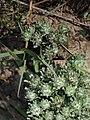 Micropsis spathulata.jpg