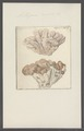 Millepora coriacea - - Print - Iconographia Zoologica - Special Collections University of Amsterdam - UBAINV0274 111 07 0019.tif