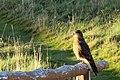 Milvago chimango -Tierra del Fuego National Park, Argentina-8.jpg