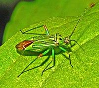 Miridae - Mermitelocerus schmidtii.JPG