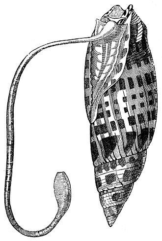 Proboscis - Proboscis of a predatory marine snail Mitra mitra.
