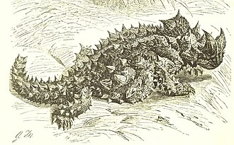 Thorny devil - Illustration from Lydekker's The Royal Natural History