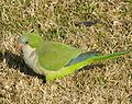 Monk Parakeet on short grass.jpg