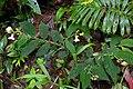 Monopyle macrocarpa (Gesneriaceae) (29512974603).jpg