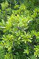 Morella pensylvanica kz2.jpg