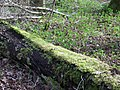 Moss covered log, Knighton Wood - geograph.org.uk - 711237.jpg