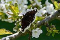Mourning cloak nectaring on cherry blossoms 2.jpg
