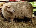 Mouton d'Ouessant 180508 1.jpg