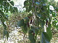 Mulberry Tree3.JPG