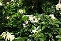 Murraya paniculata Lakeview 1zz.jpg
