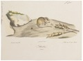 Mus sylvaticus - 1700-1880 - Print - Iconographia Zoologica - Special Collections University of Amsterdam - UBA01 IZ20500087.tif