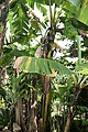 Musa acuminata 25zz.jpg