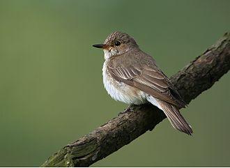 Spotted flycatcher - Spotted flycatcher in the Czech Republic
