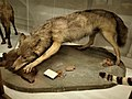 Museo della Specola (Florence) - Canis lupus 1.jpg