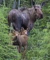 My Public Lands Roadtrip- Alaskan Wildlife (19467830775).jpg