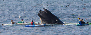 Avila Beach, California - Humpback whales are becoming features for local tourism.
