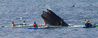 Humpback whale - Feeds while being surrounded by kayakers at Port San Luis near Avila