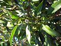 Myoporum acuminatum Batemans Bay.jpg