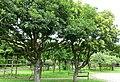 Myrica rubra - Urban Greening Botanical Garden - Kiba Park - Koto, Tokyo, Japan - DSC05290.jpg
