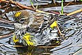 Myrtle Warbler - Dendroica coronata, Babcock-Webb Wildlife Management Area, Punta Gorda, Florida - 8265147867.jpg
