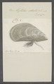 Mytilus edulis - - Print - Iconographia Zoologica - Special Collections University of Amsterdam - UBAINV0274 076 01 0023.tif