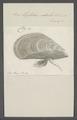 Mytilus edulis - - Print - Iconographia Zoologica - Special Collections University of Amsterdam - UBAINV0274 076 01 0023.tif